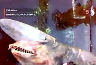 Учёные определили улов как акулу-гоблина и назвали произошедшее...