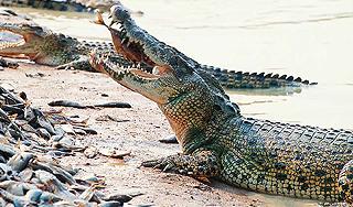 крокодиловая сумка из тайланда.